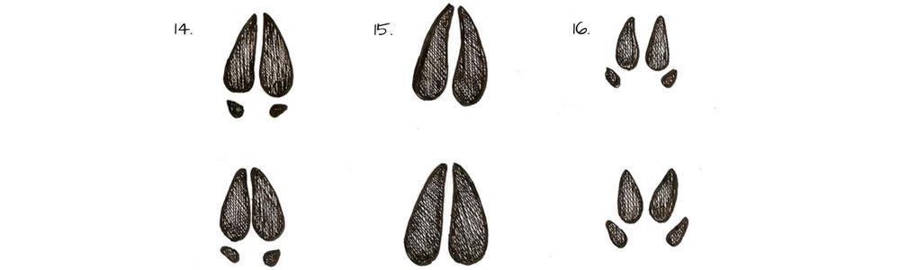 Tracce di animali - impronte di piccoli ungulati